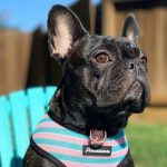 Things You Did Know About The French Bulldog